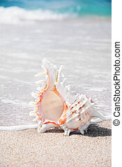 Big seashell on clean sandy beach in water - Big seashell on...