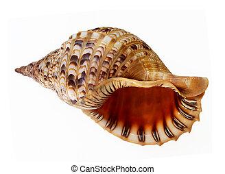 Big seashell talk