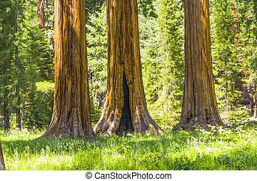 big sequoia trees in Sequoia National Park - the famous big...