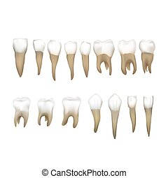 Big set of different realistic human teeths isolated on ...