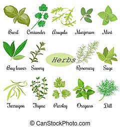 Big set of fresh culinary herbs - Big vector set of popular ...