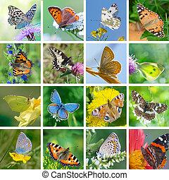 European butterflies - Big set of photos of European...