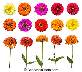 Big set of Zinnia flower isolated on white background. Red, pink, purple, yellow flowers.