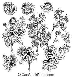 Big set or collection of vector hand drawn roses for design in engraved style
