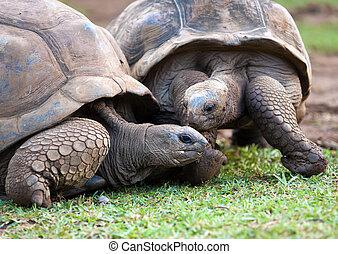 Big Seychelles turtle in La Vanille Reserve park. Mauritius....