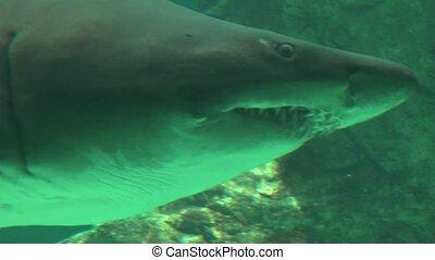 Big Shark Teeth And Gills