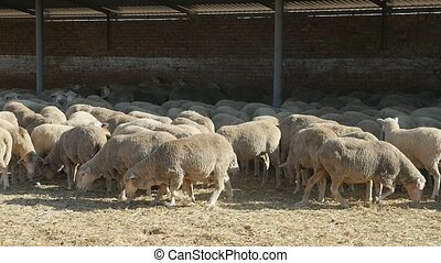 Big sheep herd standing and seeking food under a shed on a sunny day in slo-mo