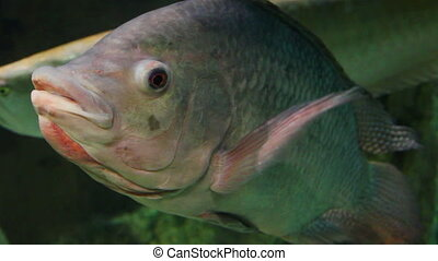 big siamese carp underwater