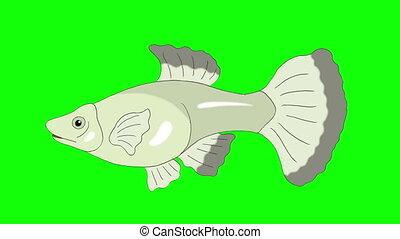 Big Silver Guppy Aquarium Fish Chroma Key looped - Big...