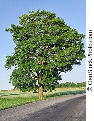 Big single tree in the field near the road