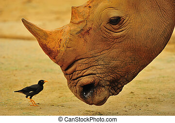 Big & small friends - A rhino looking at an oxpecker, also ...