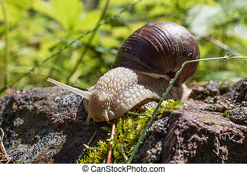 big snail close-up in the forest