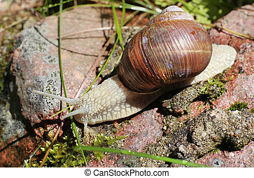big snail close-up in the forest on stone