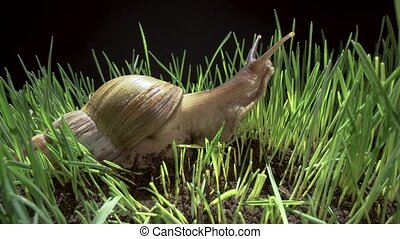 Big snail crawling in the grass