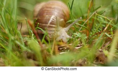 Big snail in the woods in search of food, macro, helix - Big...