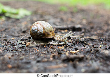 big snail on the ground in the forest