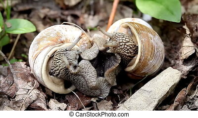 big snails in the wild act of reproduction