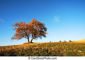 Big solitary oak tree