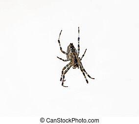 big spider on white