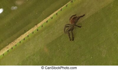 Big Spider, Southamerica