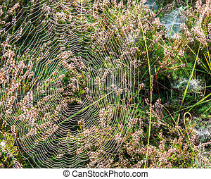 Big spider web with spider and dew drops