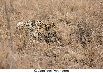Big strong tired male leopard laying down to rest on grass