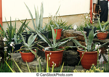 big succulents in pots at porch of country house with fountain