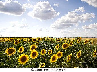 Big sun flowers field