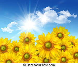 Big sunflowers against a  blue summer sky
