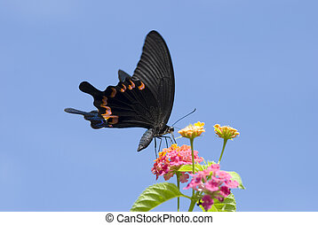 Big swallowtail butterfly feeding