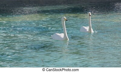 Big Swans waterfowl cleans feathers in natural pond in the...