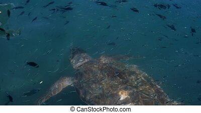 Big Swimming Turtle