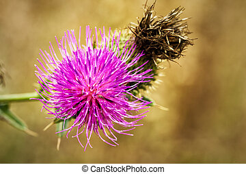 Big thistle flowers