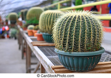Big thorny cactuses - Row of pots with big thorny cactuses