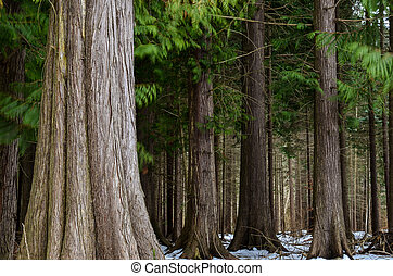 Thuja trees in a nature reserve on the swedish island Öland in the Baltic sea