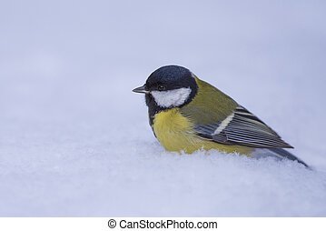 Big titmouse sits on the snow
