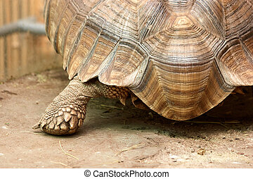 Big tortoise close up.