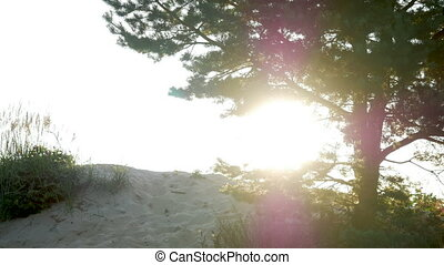 big tree at sunset in silhouette standing on the sand