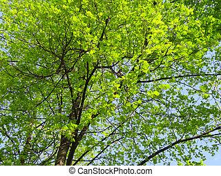 big tree crown in the blue sky
