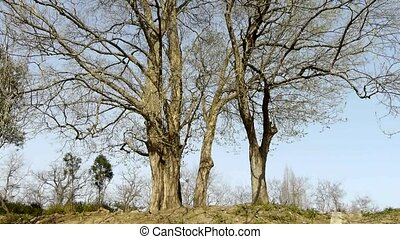 Big tree forest.Thick trunk.leisure