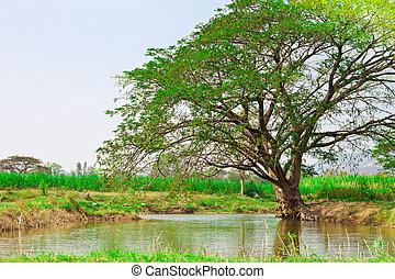 big tree in the green field near pond