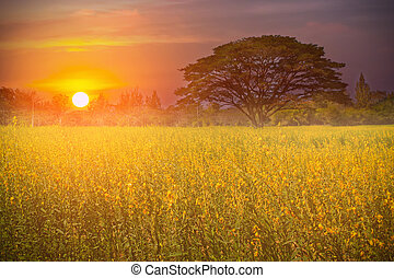 Big tree in the yellow flower farm at beautiful sunrise