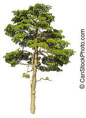 Big tree isolated on white background.