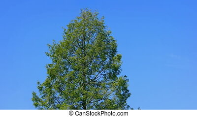 Big Tree On Blue Sky - Large tree on a sunny day