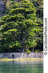 Big tree on lake coast
