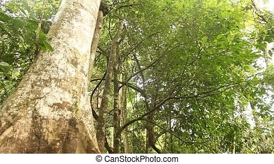 Big Tree - Rain Forest - Trees In Rain Forest