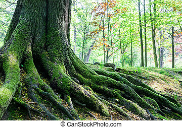 big tree roots in forest