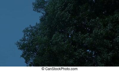 Big Tree Shaking On Windy Evening