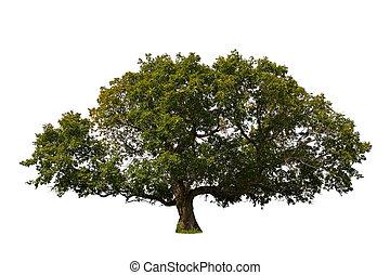 Big Tree - Isolated tree