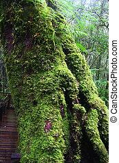 big tree with moss